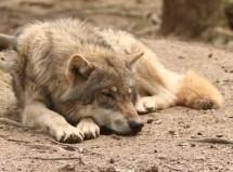 wolf_canis_lupus_enclosure_217041